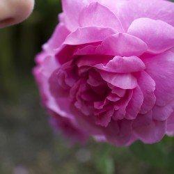 rose-177955_1920
